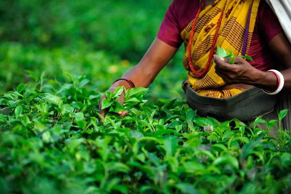 Индийский чай и его сорта, особенности приготовления, история