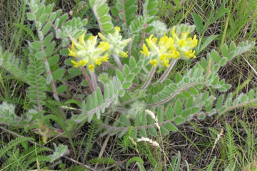 Применение травы астрагал шерстистоцветковый в народной медицине
