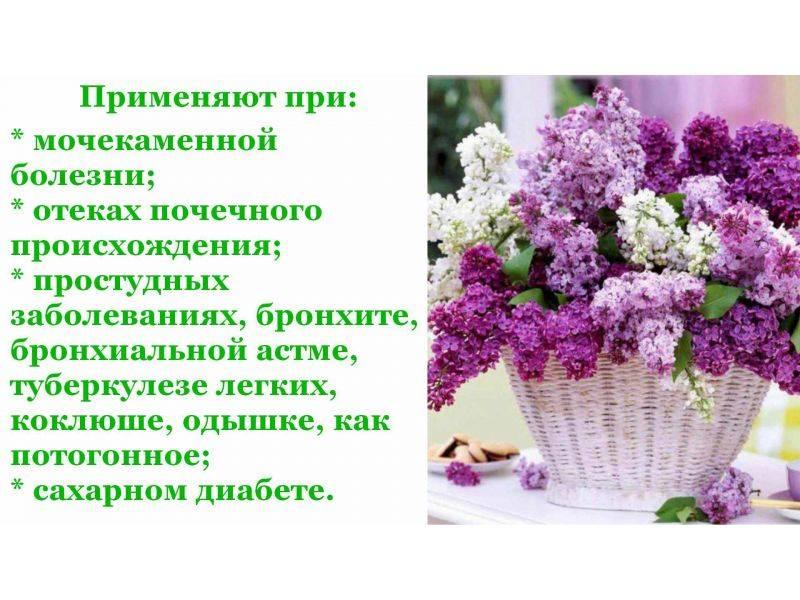 Цветы сирени – лечебные свойства и противопоказания, рецепты