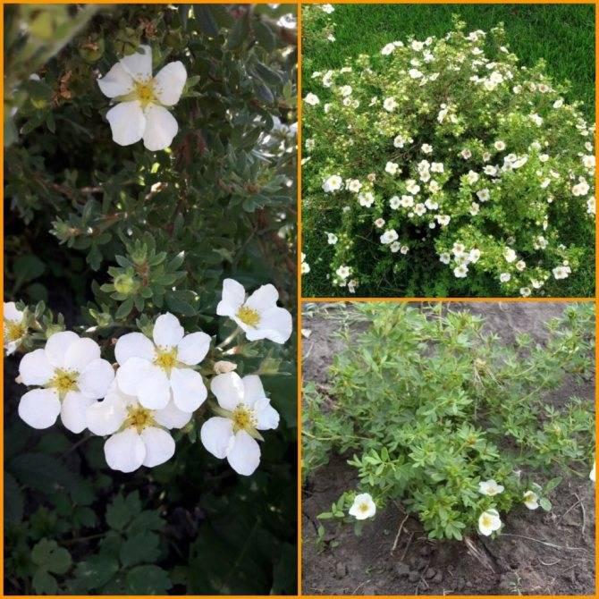 """Курильский чай: как посадить и как выращивать - проект """"цветочки"""" - для цветоводов начинающих и профессионалов"""
