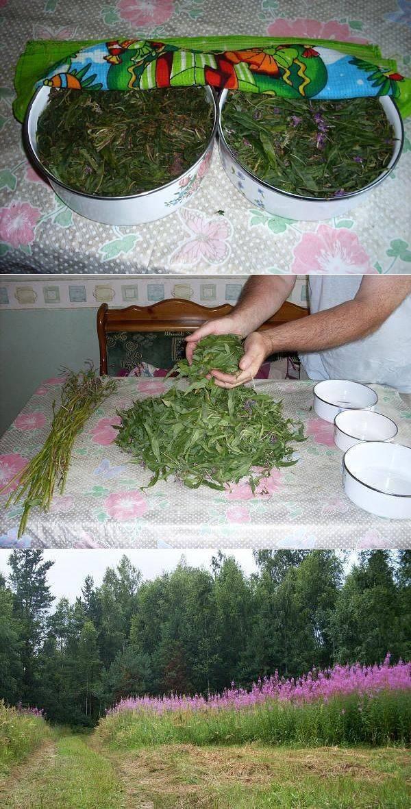 Иван-чай для вашего здоровья — как собирать, сушить и правильно заваривать