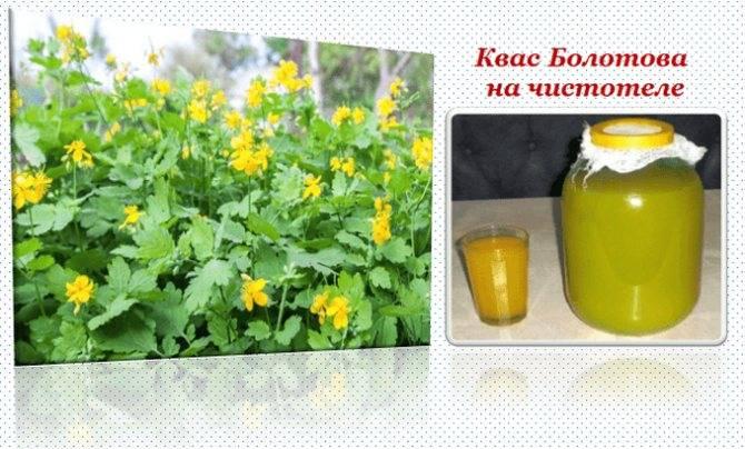 Квас из чистотела — польза растения и лечебные свойства применения внутрь, наружно или для ингаляций