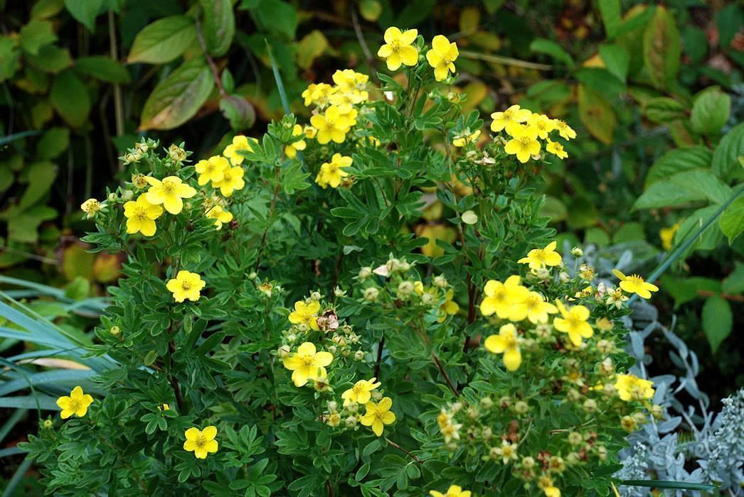 Курильский чай (кустарниковый, лапчатка) — лечебные свойства и противопоказания