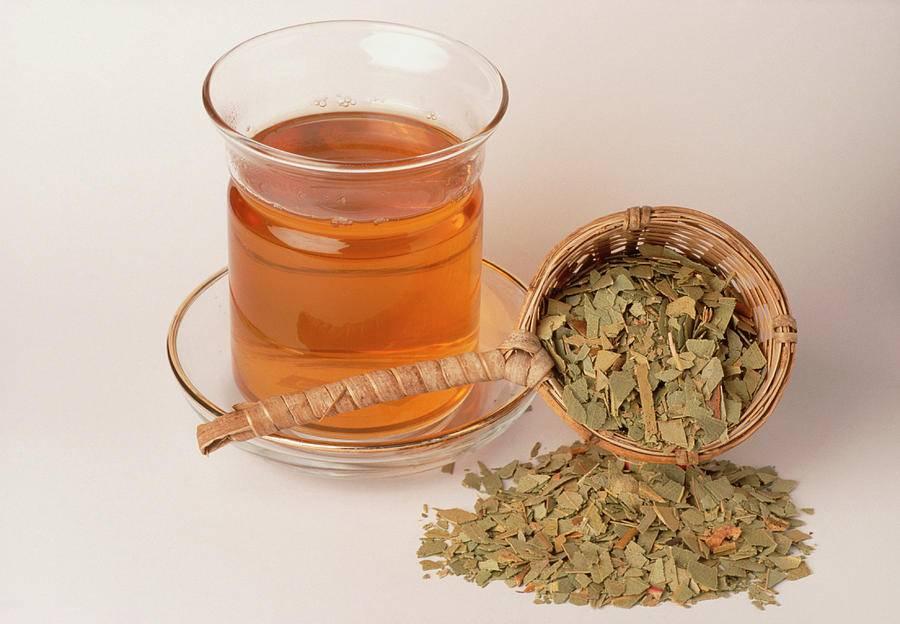 Чай из листьев эвкалипта: польза и рецепты заваривания