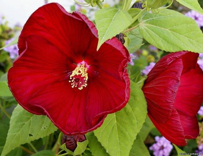 Гибискус каркаде: описание, свойства растения