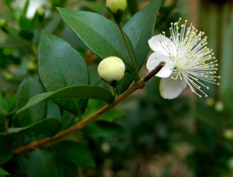 Мирт полезные свойства растения