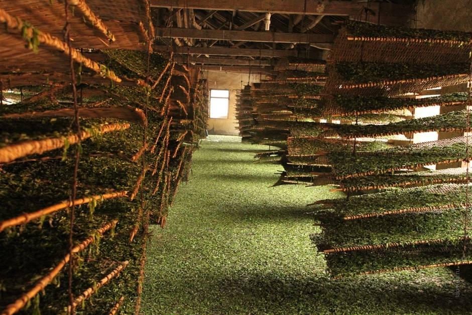 Производство чая: технология изготовления и ферментации, используемое сырье