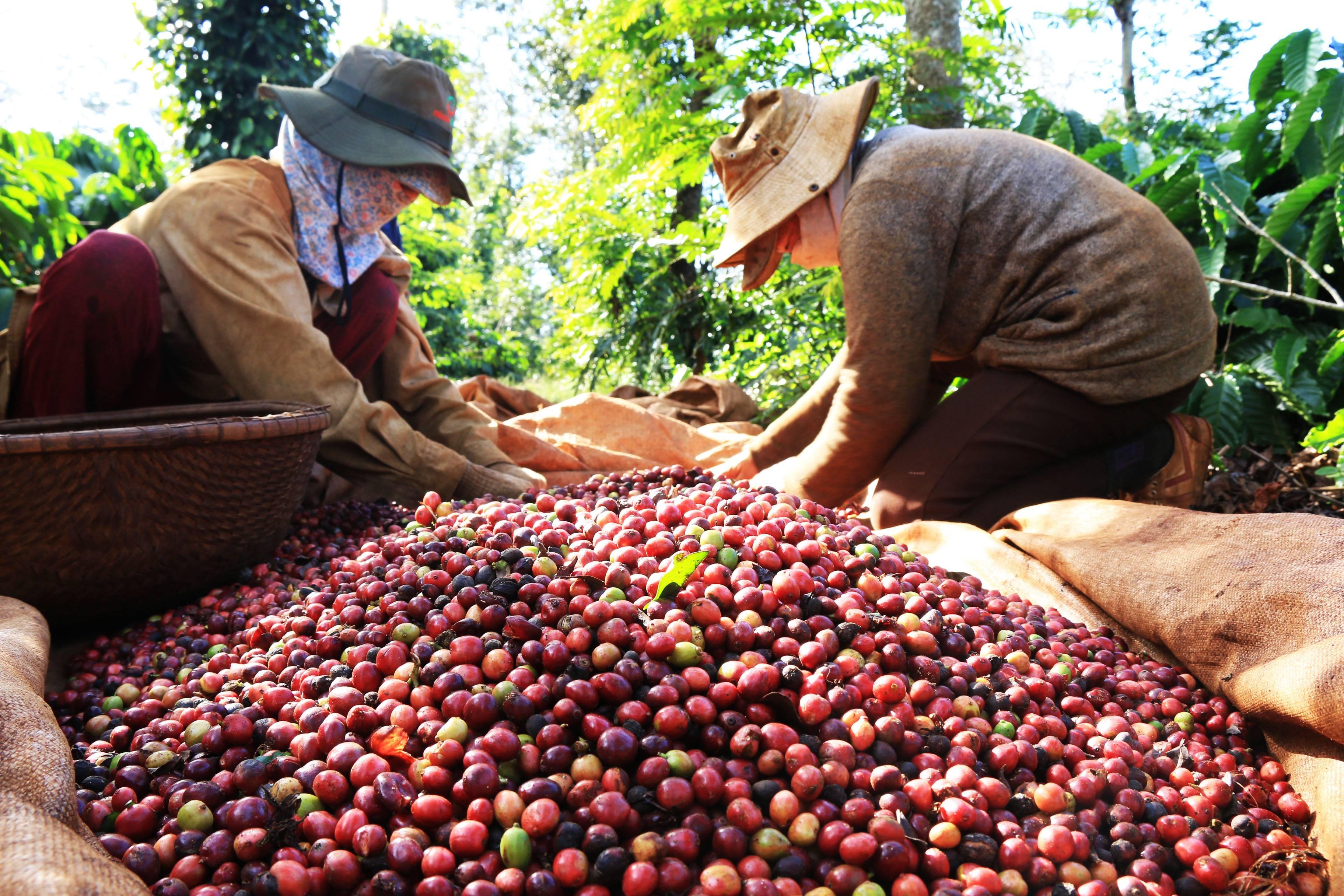 20 стран-лидеров среди мировых производителей кофе: от бразилии до зимбабве (и италии тут нет)
