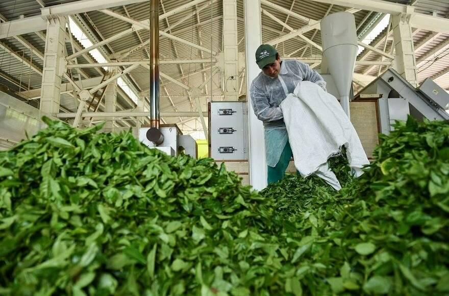 Мацеста чай, история предприятия, развитие чайного производства