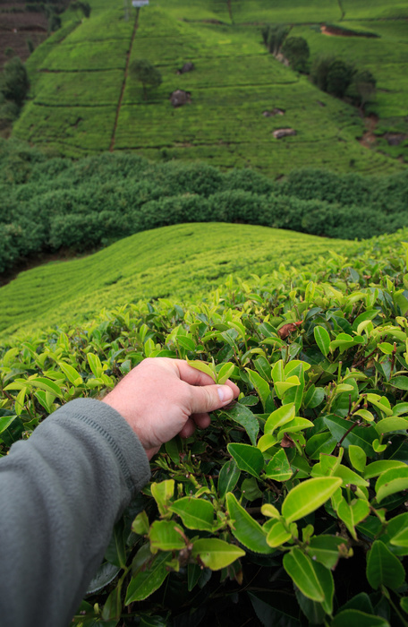 13 лучших сортов чая - рейтинг 2021 года (топ на январь)