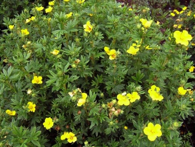 Курильский чай: выращивание кустарника и тонкости приготовления напитка