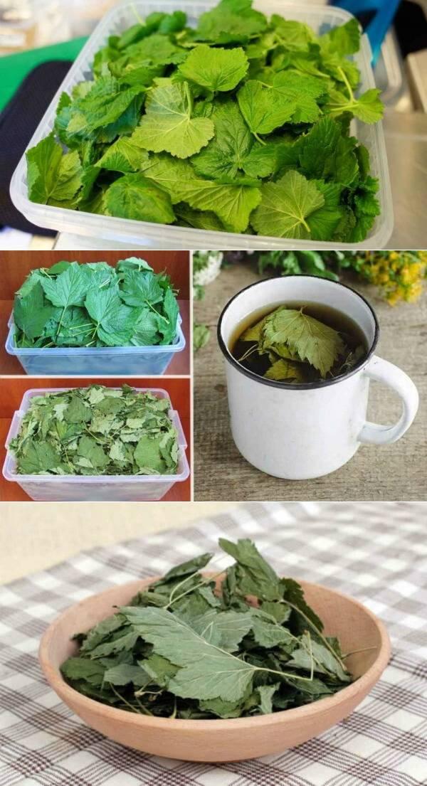 """Когда нужно собирать листья смородины для чая? - журнал """"совхозик"""""""
