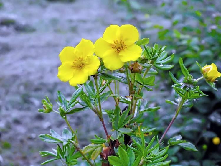 Курильский чай (лапчатка) свойства, особенности лечебной травы