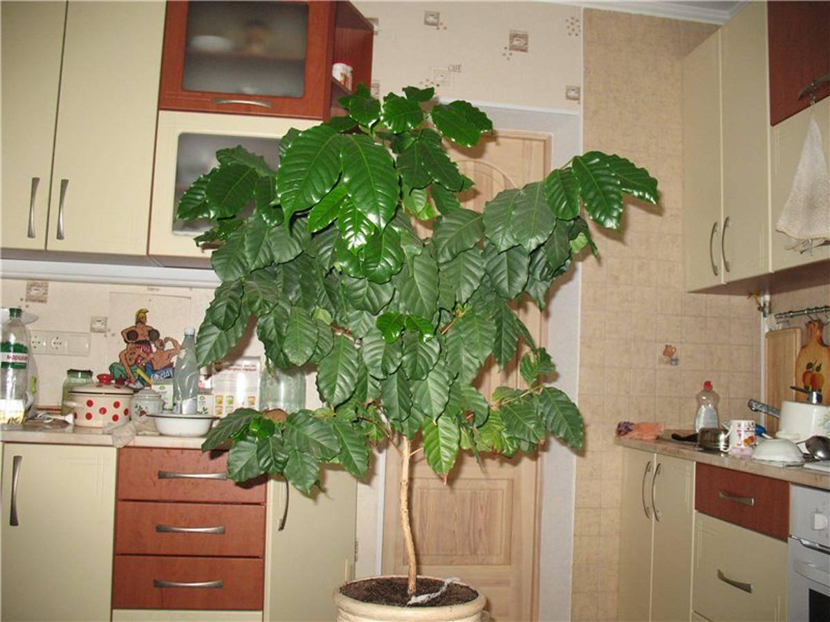 Кофейное дерево в домашних условиях - как вырастить, болезни и правильный уход
