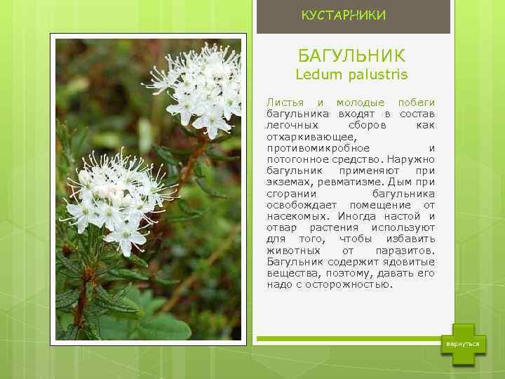 Описание багульника болотного с фото - лечебные свойства растения, показания к применению и отзывы