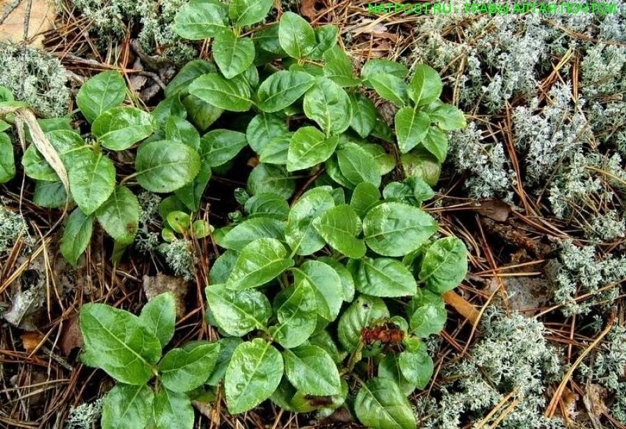Трава боровая матка - лечебные свойства, применение в гинекологии