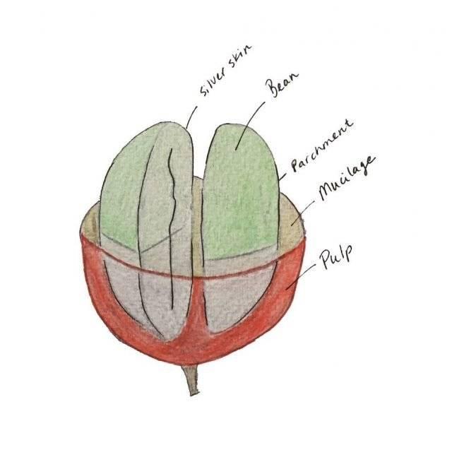 Кофейные зерна: строение и состав кофейной ягоды