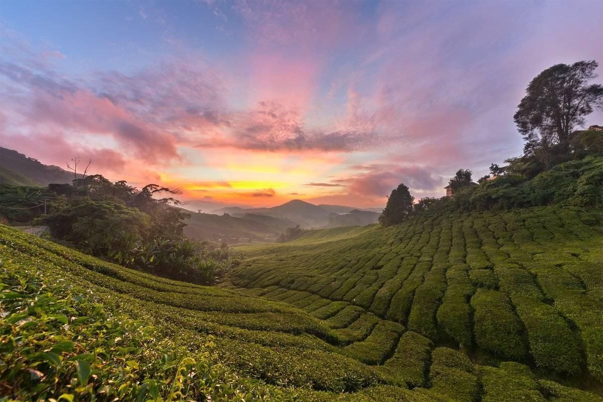 Сорта цейлонского чая