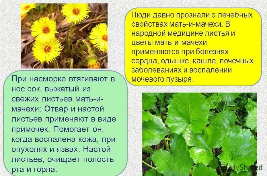 Мать и мачеха: лечебные свойства травы, правила применения и противопоказания   здорова и красива