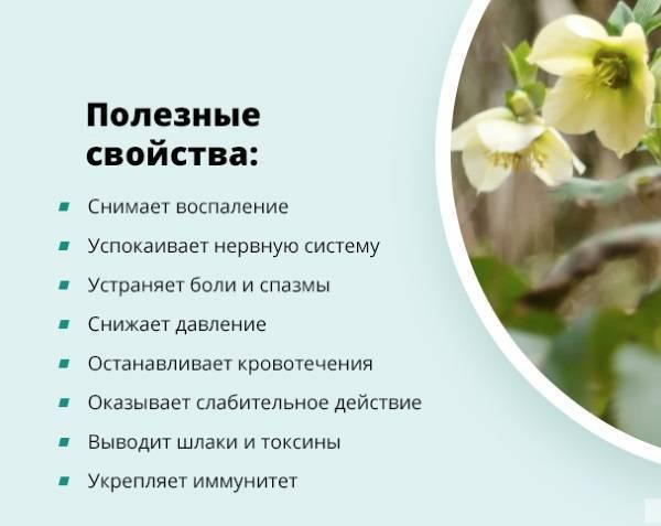 Морозник кавказский: применение и противопоказания для женщин, мужчин, детей, при беременности | народная медицина