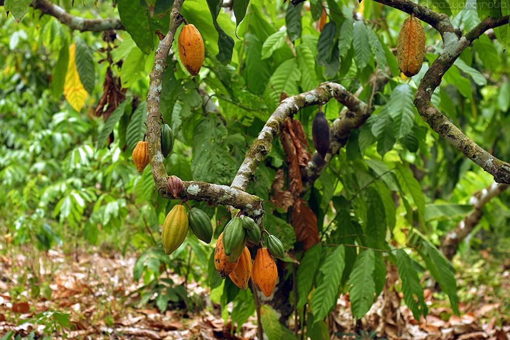 Где находится родина какао и как растет это шоколадное дерево, в каких странах его выращивают, фото