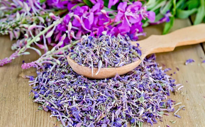 Как собирать, сушить и правильно заваривать иван-чай в домашних условиях. полезные свойства иван-чая для мужчин и женщин.