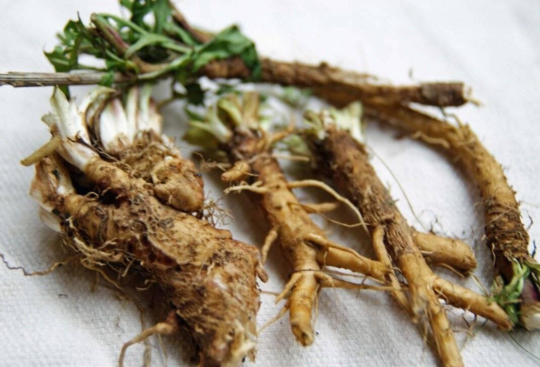 Когда собирают одуванчики для лечения: заготовка корней, листьев, цветов – дачные дела