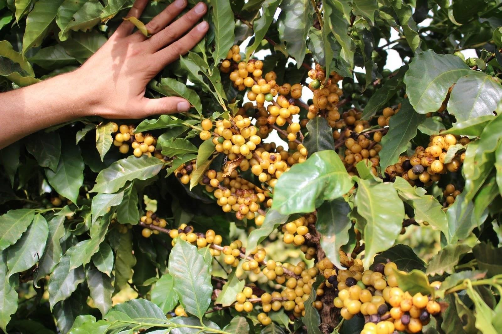 Элитный бразильский сорт кофе желтый бурбон