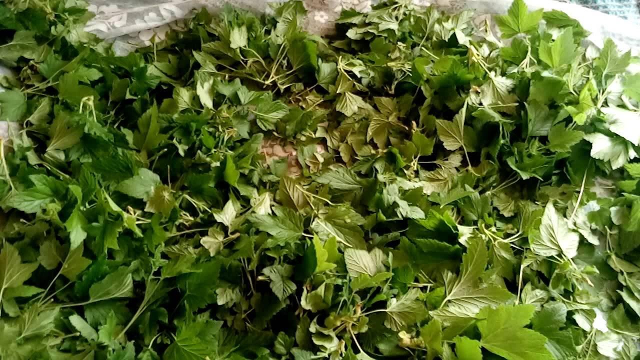 Листья смородины для чая: когда собирать, как сушить, рецепты