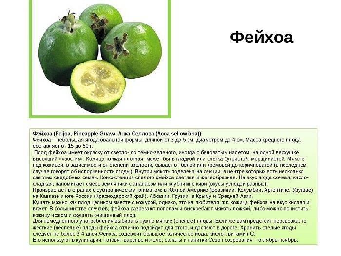 Фейхоа - полезные свойства варенья или сока для мужчин и женщин, состав и противопоказания