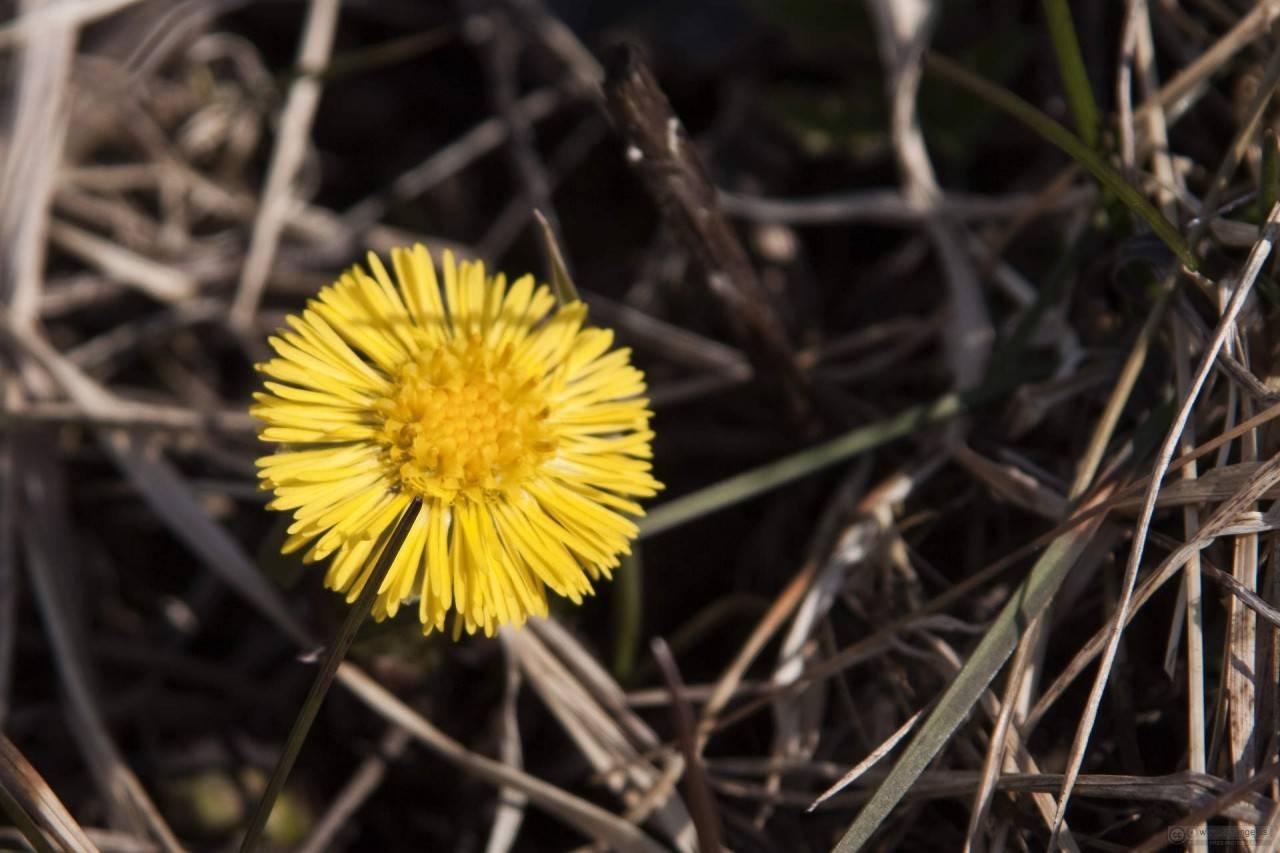 Мать-и-мачеха: лечебные свойства растения, противопоказания, применение