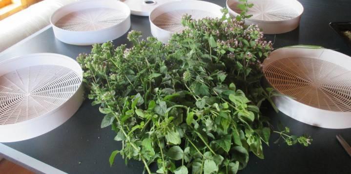 Когда собирать листья мелиссы. когда собирать мелиссу на сушку: до цветения или после? заготовка, сушка и хранение мелиссы в домашних условиях - про жкт