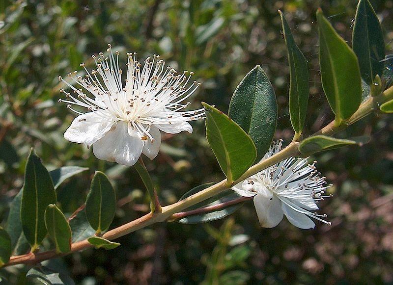 Мирт обыкновенный цветок лечебные свойства