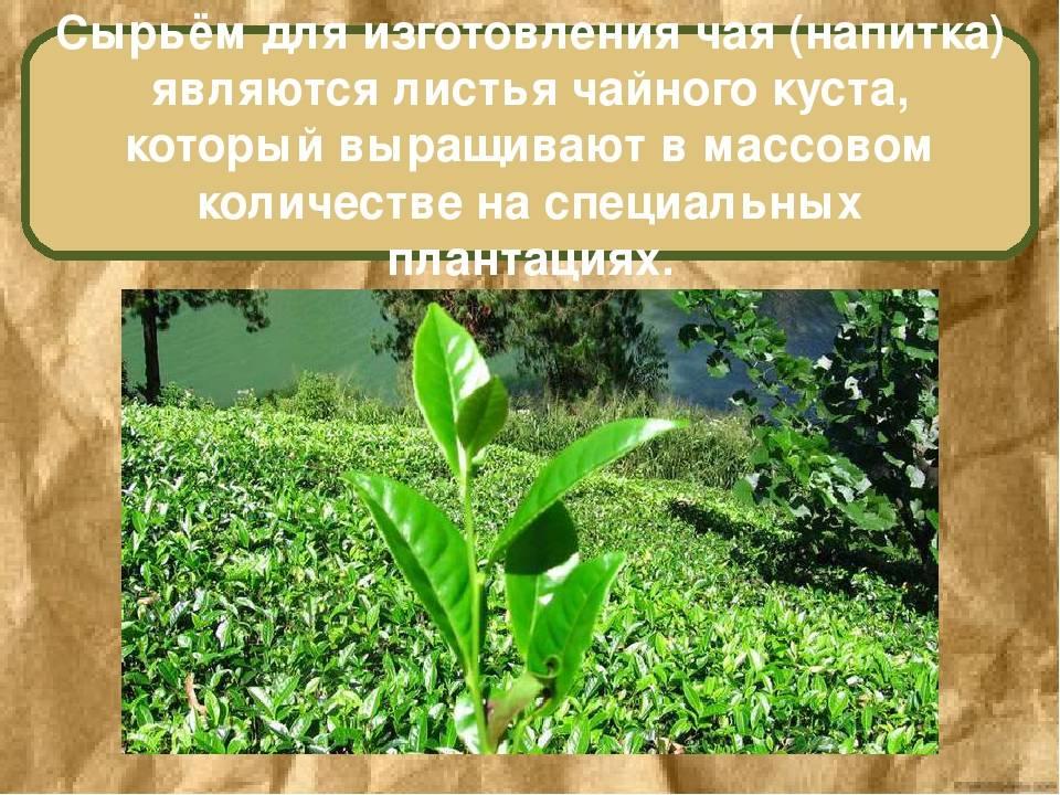 Промышленное производство иван-чая