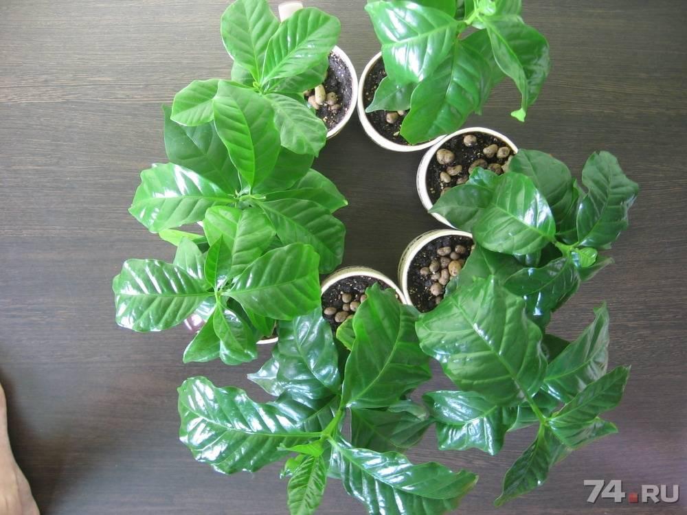 Как ухаживать за кофейным деревом для получения первого урожая? читайте в этой статье