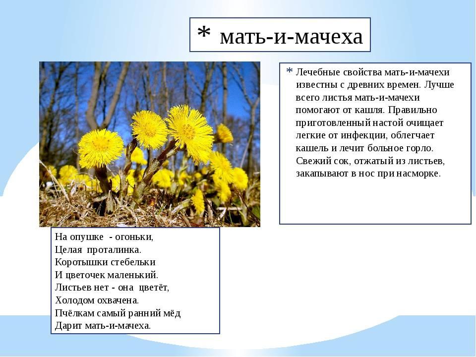 """""""мать и мачеха: лечебные свойства травы, правила применения и противопоказания"""""""
