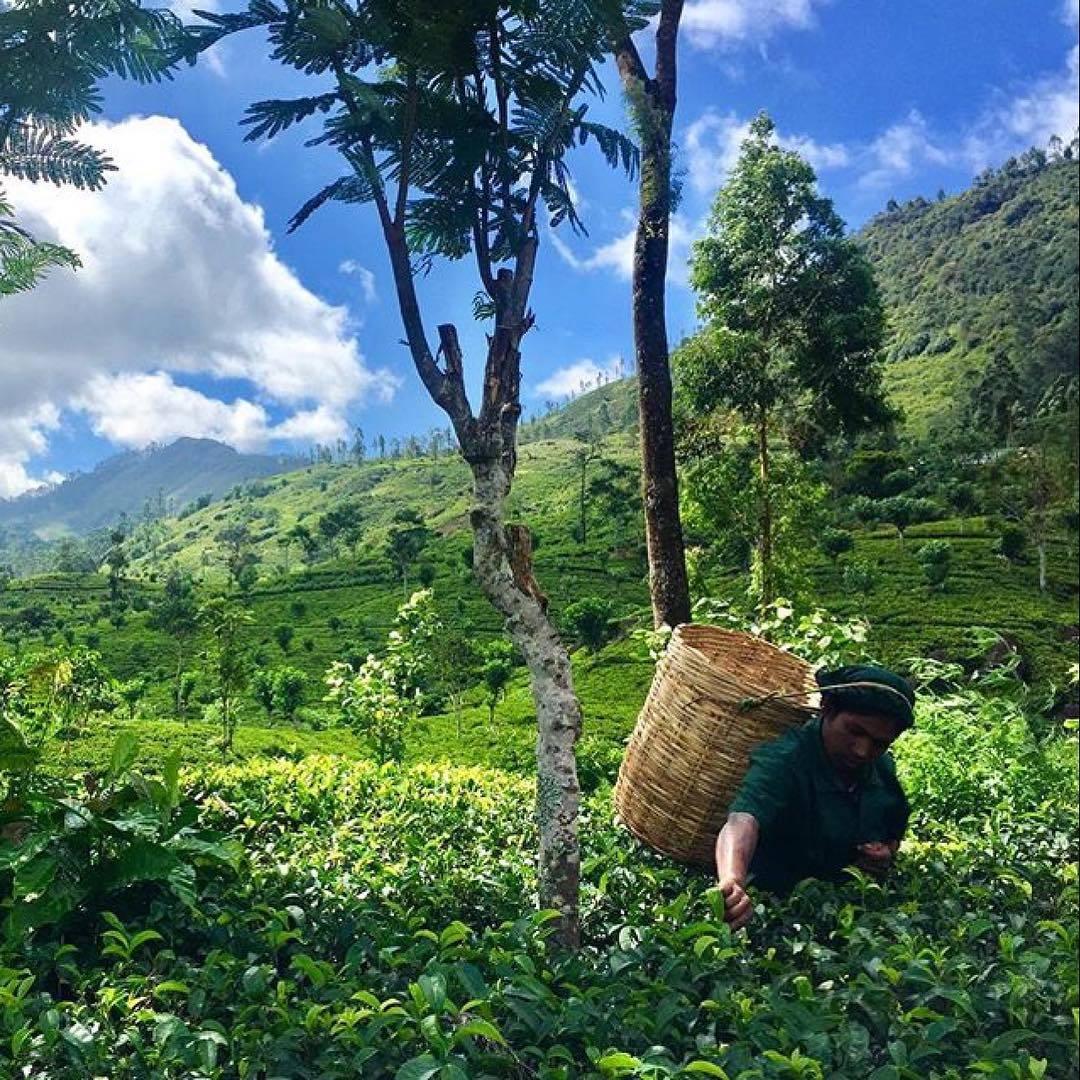 Лучшие чайные плантации мира – чай не ведает границ