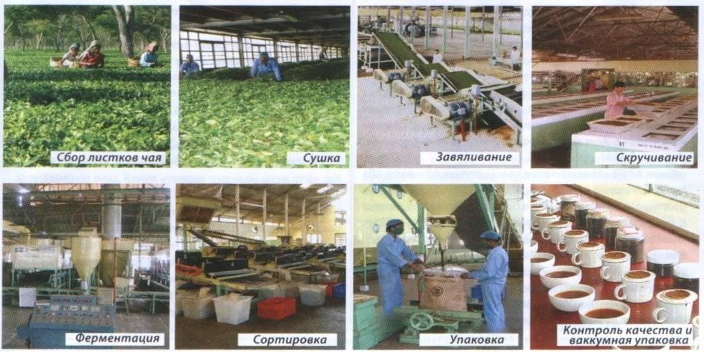 Как делают черный чай. этапы производства