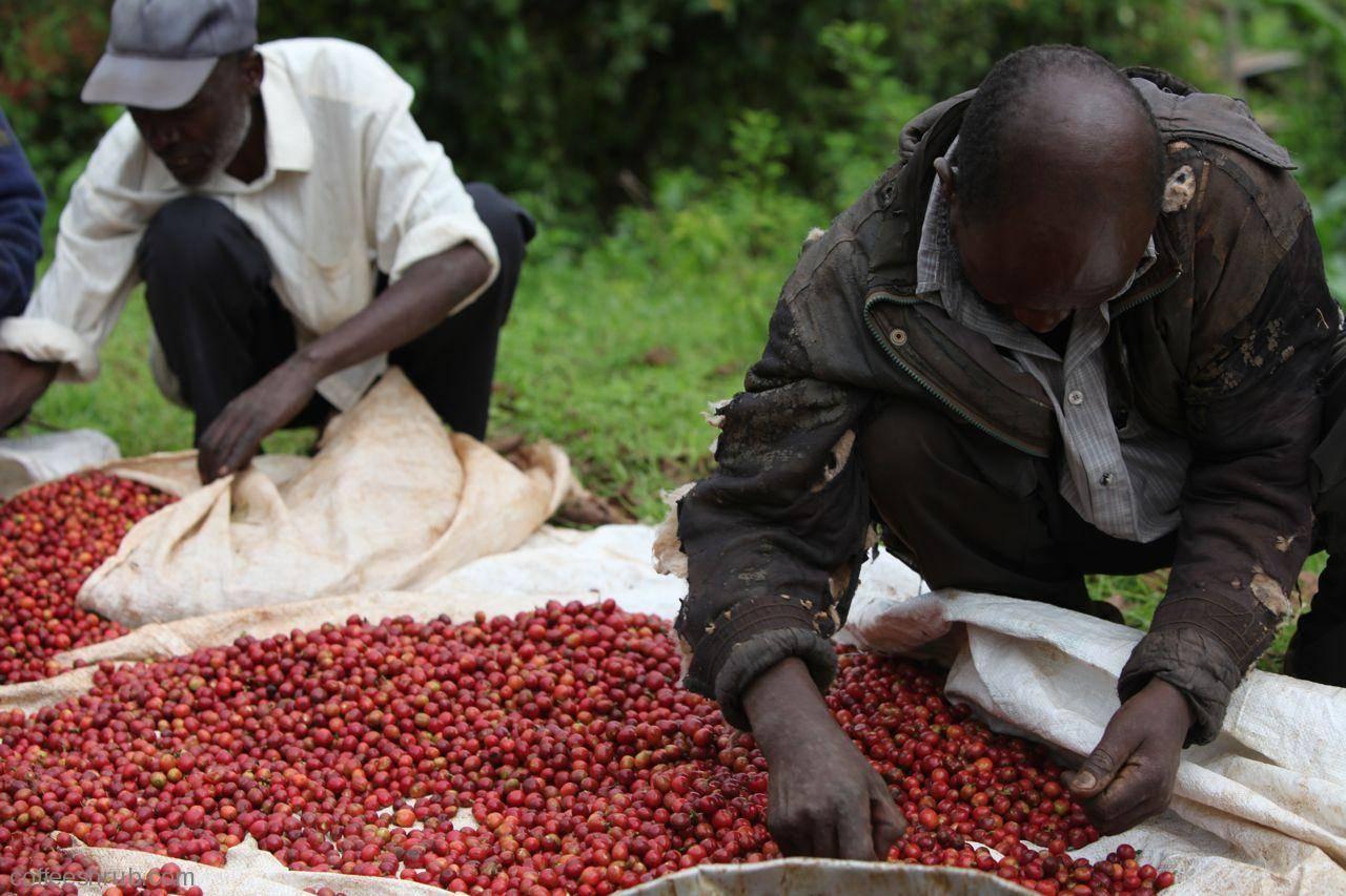 Основные черты и разновидности кофе из кении
