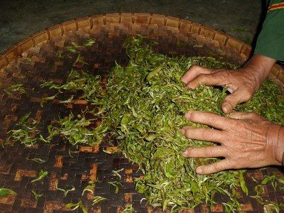 Окисление и ферментация в производстве чая - teaterra   teaterra