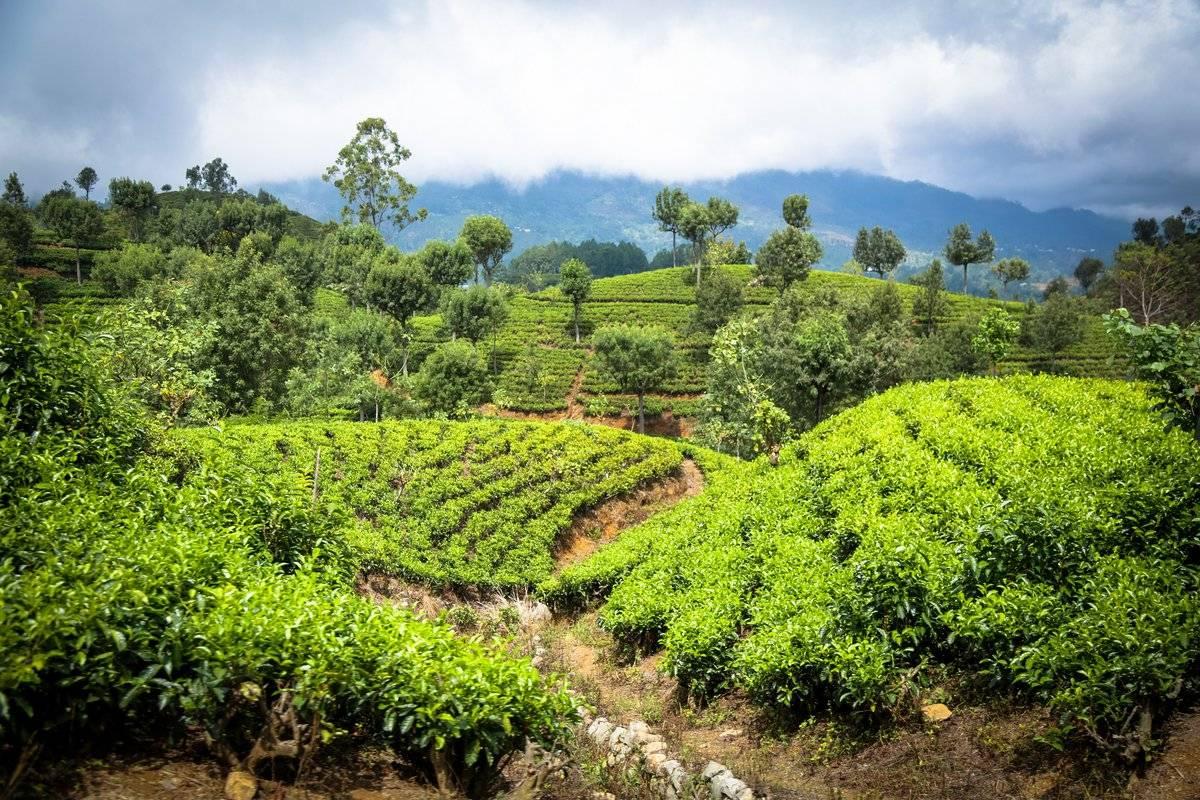Нувара-элия, шри-ланка: плантации чая, достопримечательности