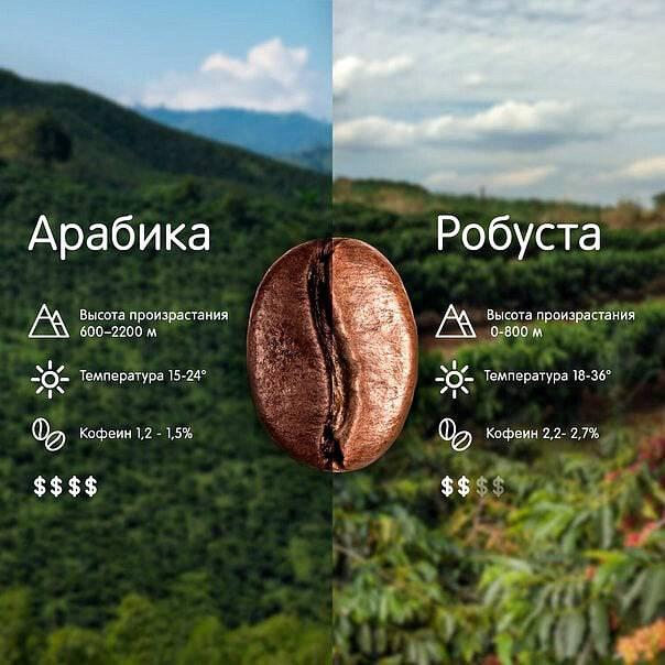 Кофе робуста | сорта кофе