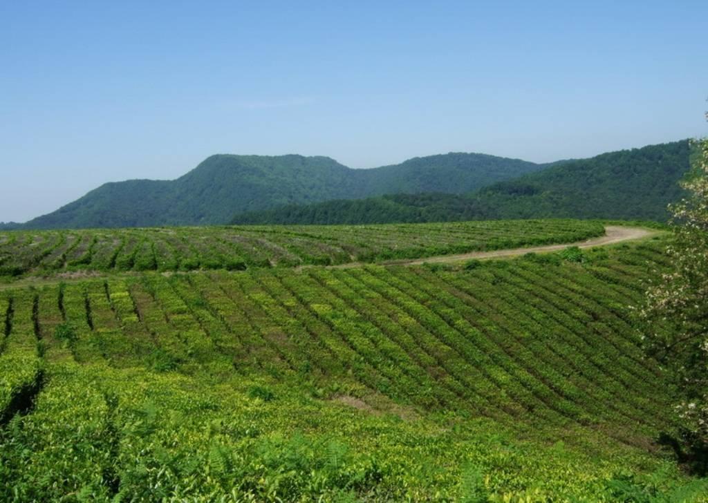 Краснодарский чай: отзывы, состав, особенности выращивания, польза и вред, вкусовые качества