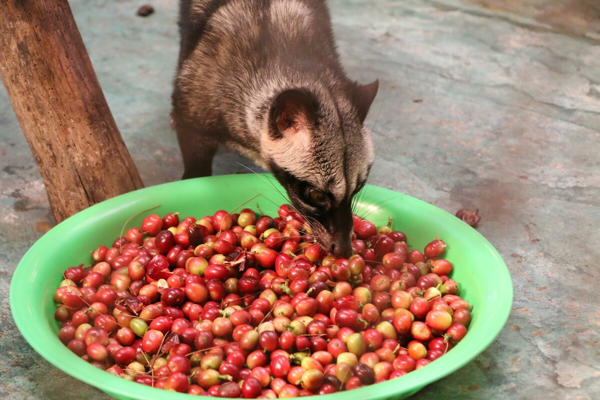 Кофе копи лювак (kopi luwak): производство, вкусовые качества, цены