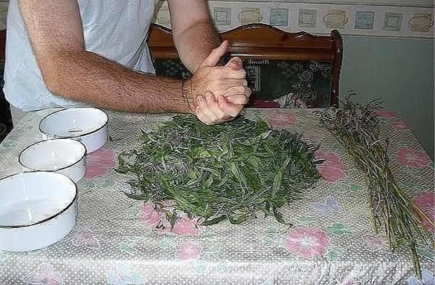 Кипрей (иван-чай): как собирать и сушить в домашних условиях, полезные свойства, фото