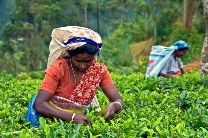 Индийский чай: заваривание, польза и вред, отзывы