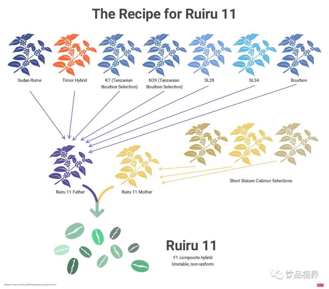 Характеристика арабики Руиру 11 (Ruiru 11)