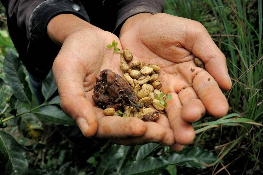 ТОП-7 самого дорогого кофе в мире