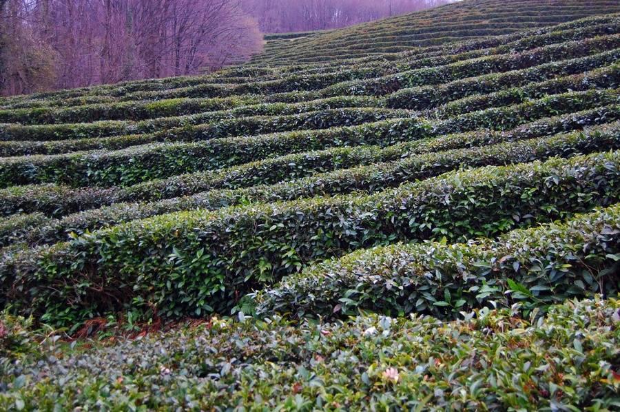 Где выращивают краснодарский чай - черный и зеленый