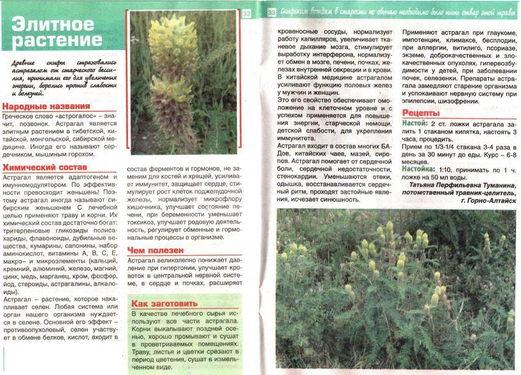 Астрагал трава: применение, лечебные свойства и противопоказания